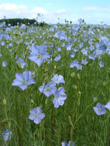 Bunga Flax