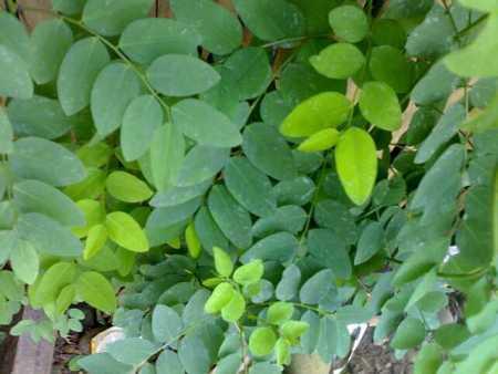 daun katuk