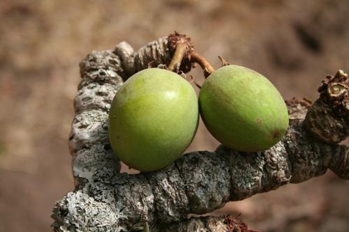 shea nut uganda