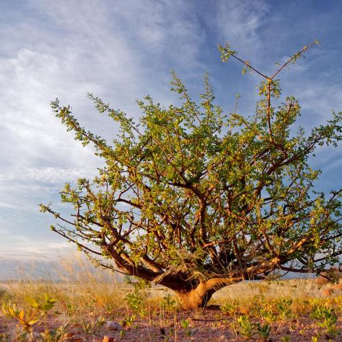 Pohon Myrh