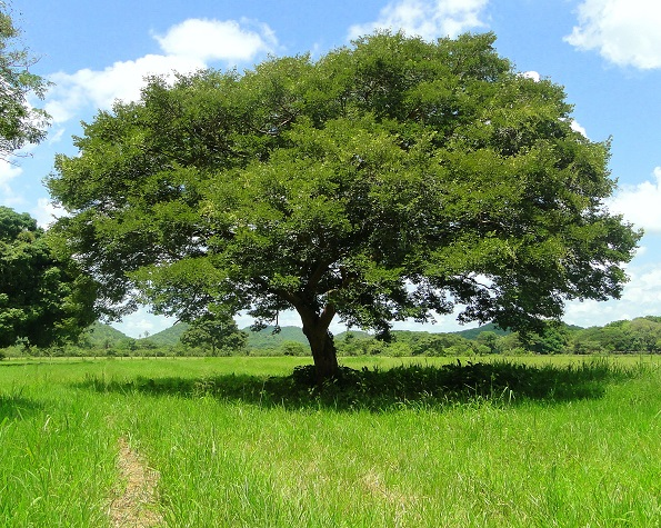 Pohon Copaifera